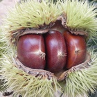 2019 Chinese new crop chestnuts for sale
