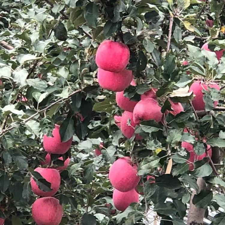 2019 New Fresh Fruits Red Fuji <strong>Apple</strong>