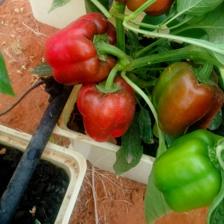 G&amp;N Agriculture Hydroponic <strong>Plant</strong> Hybrid Chilli <strong>Pepper</strong> <strong>Seeds</strong> Hot <strong>Pepper</strong> <strong>Seeds</strong> Supplier