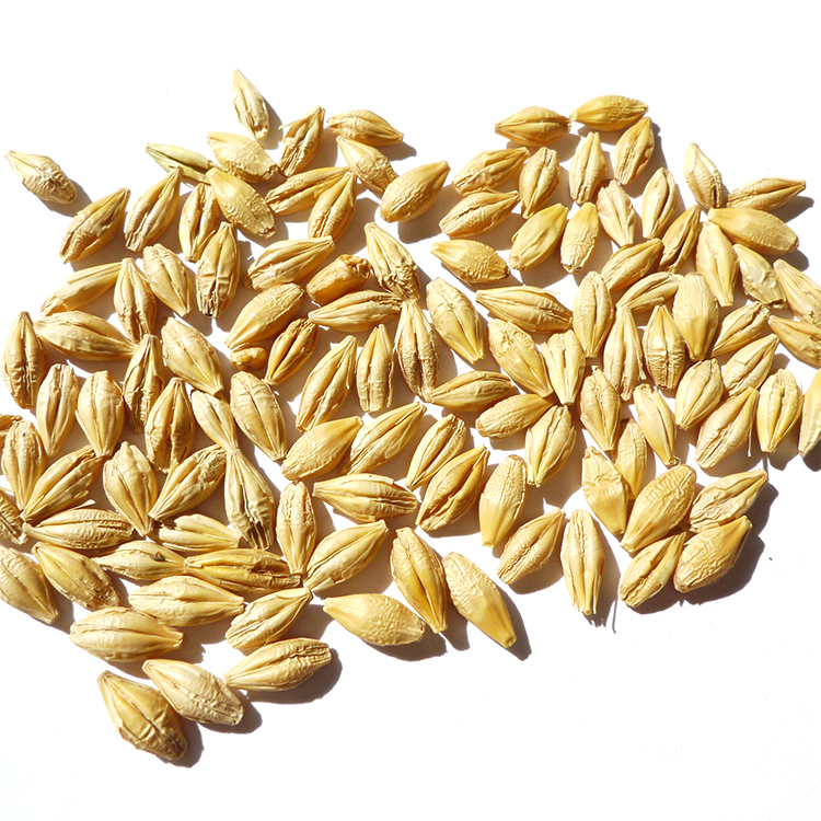 New Crop Barley for food & for beer use