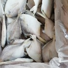 IQF Fish Product Type FROZEN WHITE POMFRET