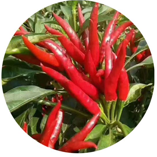 2020 High Quality Chinese Vegetable Super No.8 Hot Chilli <strong>Seeds</strong> for Growing