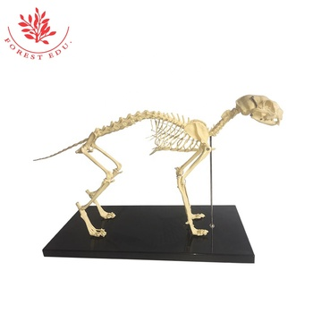skelett der katze