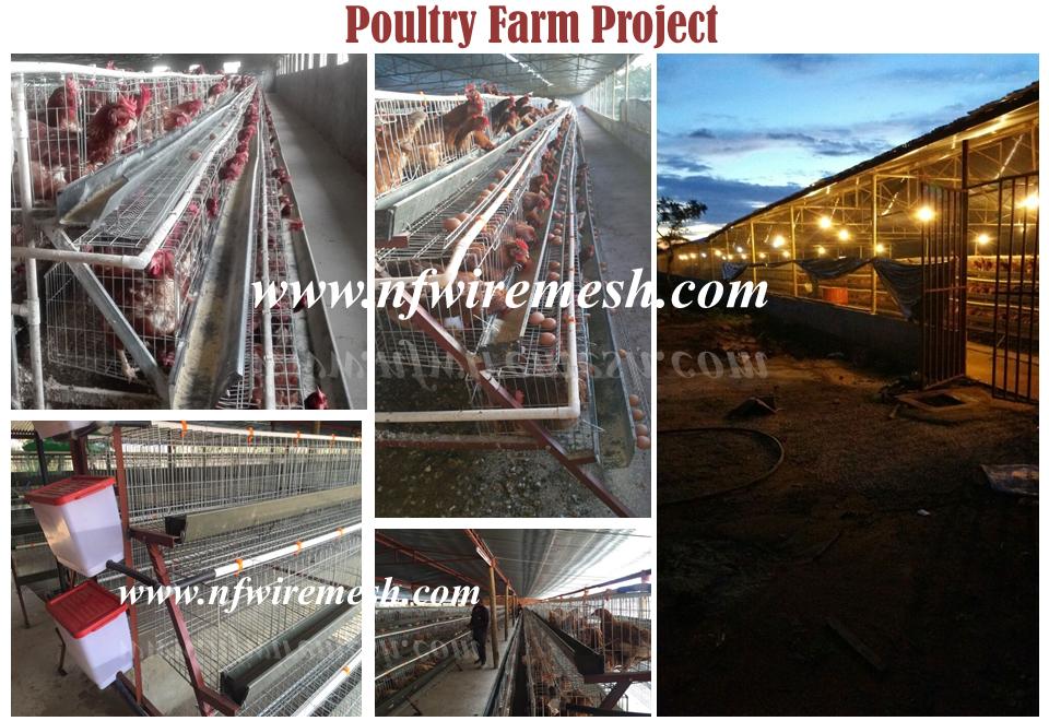चिकन अंडे पोल्ट्री फार्म उपकरण/स्वचालित अंडे एकत्रित मशीन/चिकन परत पिंजरे (गुआंगज़ौ फैक्टरी)