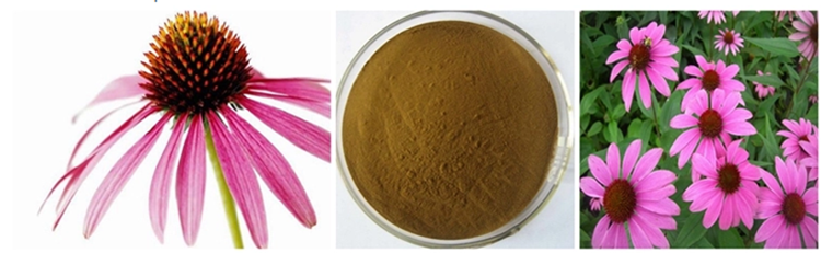 Factory Supply  Echinacea  Purpurea Extract With 4% Polyphenols