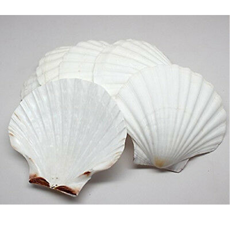 Varies natural Raw material Scallop Sea Shell/White shell