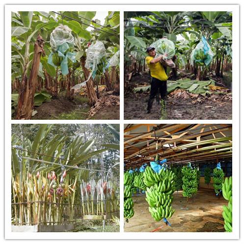 tool for Banana plant