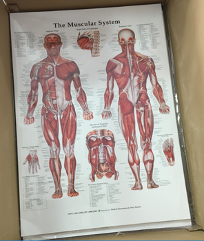 Human Muscular System & Skeletal System and Ligaments of The Joints Anatomical Poster Set - Laminated 3 Chart Set