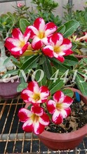 Пустынная Роза Adenium Obesum аксессуары для украшения дома искусственные цветы(Китай)