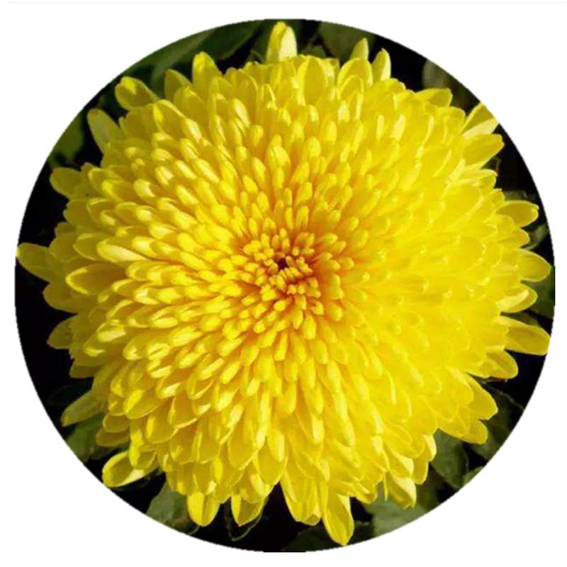 Chinese Tea Gift Natural Flower Tea Yellow Chrysanthemum Tea - 4uTea | 4uTea.com