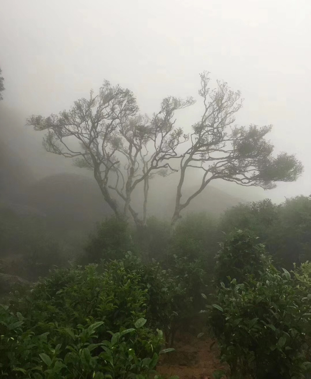 Yunnan mountain old tree tea chinese black tea bondong puer tea - 4uTea | 4uTea.com