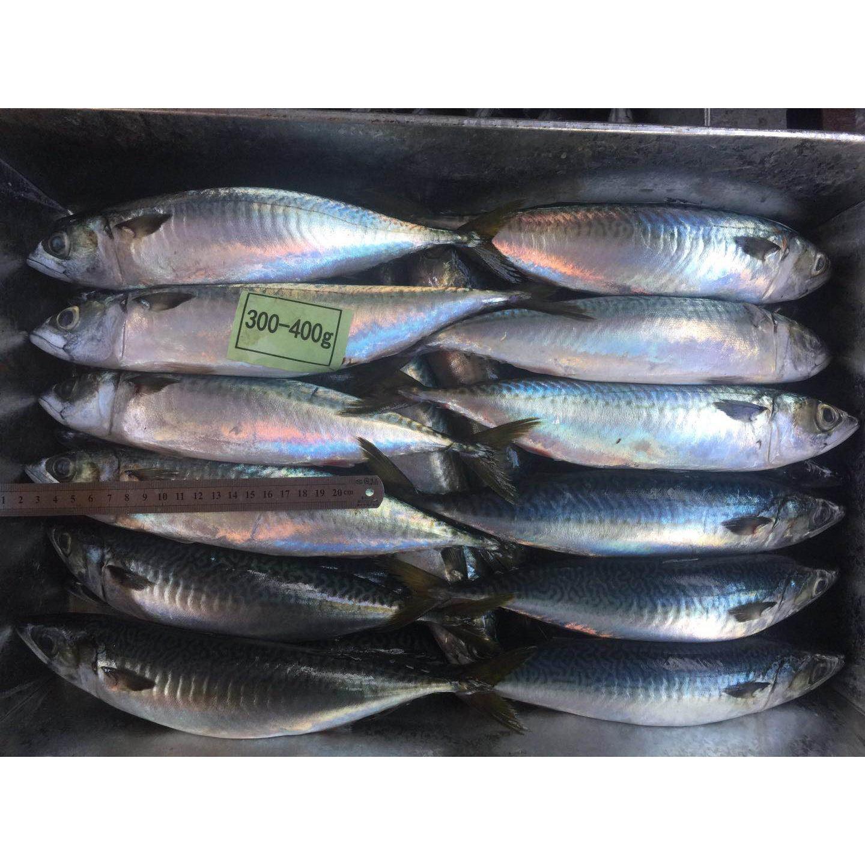 Laut Perusahaan Makanan Beku Mackerel Ikan Produk