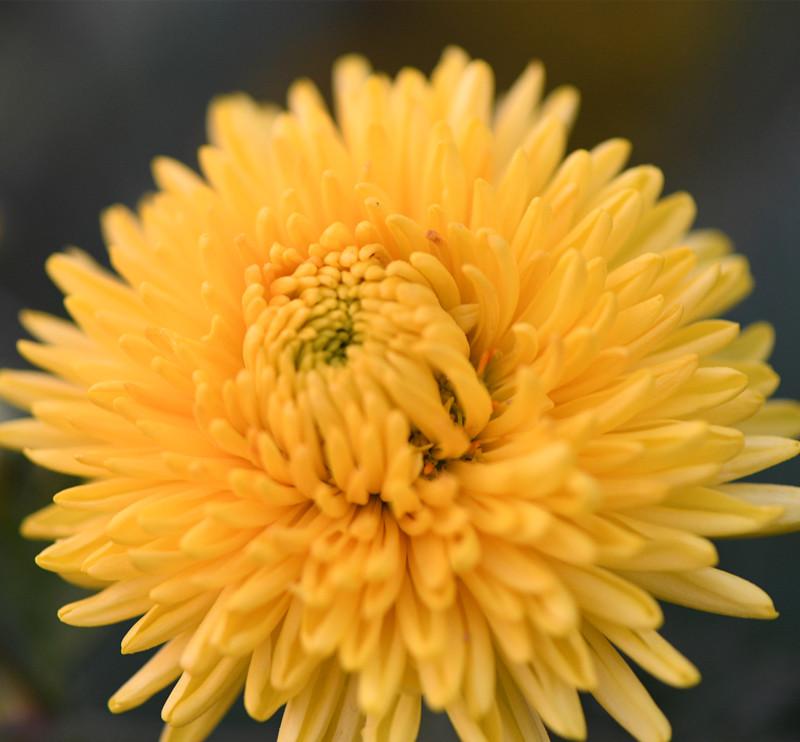 Skin Beauty Flower Tea Organic Dried Chrysanthemum Tea - 4uTea   4uTea.com