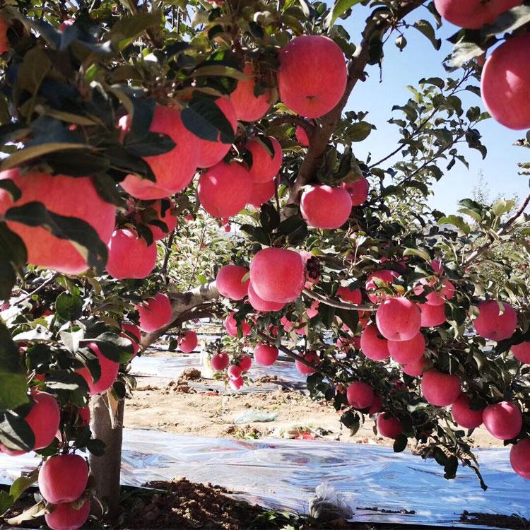 Harga Ekspor Segar Buah Apel