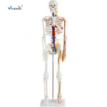 Hot Selling Medical Plastic Human Skeleton