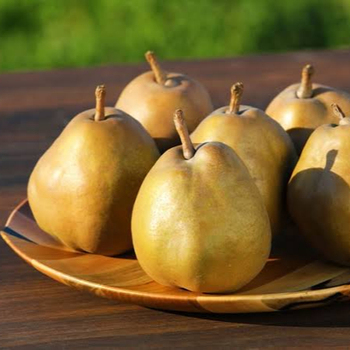 High quality Japan Asian Pears For Wholesale