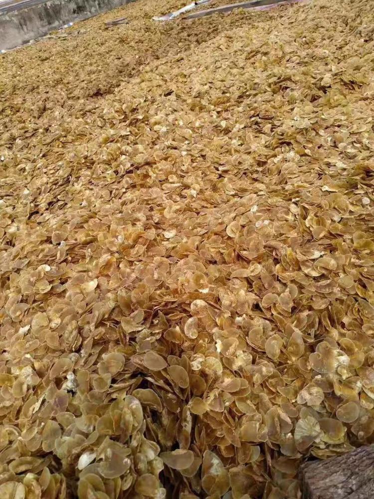 Cheap Wholesale Seashell Murex Operculum Murex Snail Dried Shell Operculum For Saudi Arabria