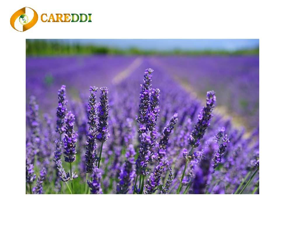 Lavender Essential Oil with 100% High Purity for Aromatherapy Diffuser