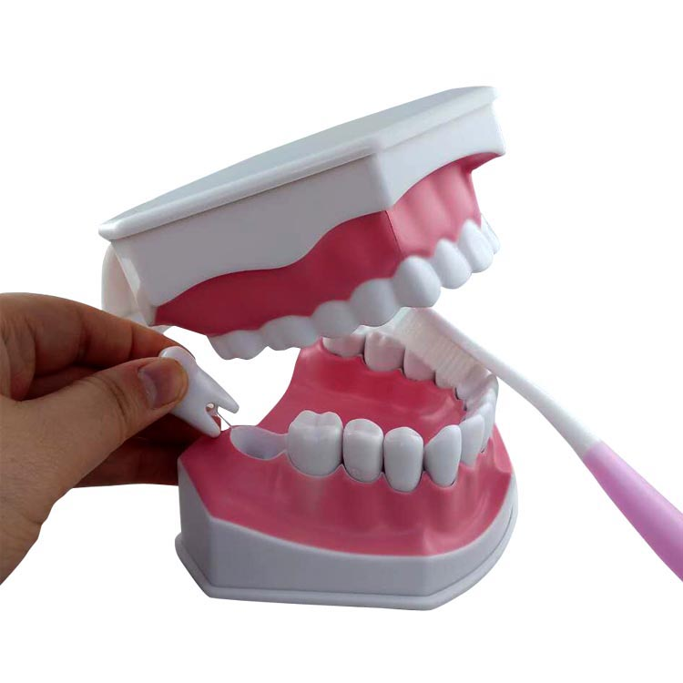 Factory Supplier small teeth <strong>model</strong>,teeth care <strong>model</strong>,dental <strong>model</strong>