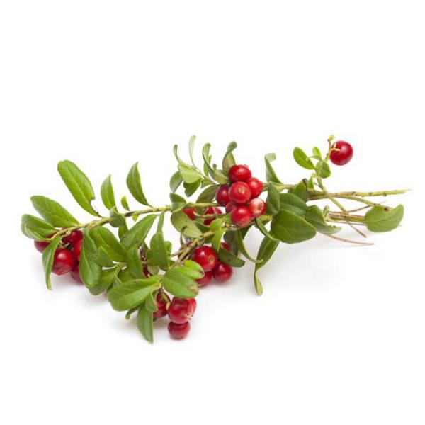 Loose Leaf Bearberry Arctostaphylos Uva Ursi Tea - 4uTea | 4uTea.com
