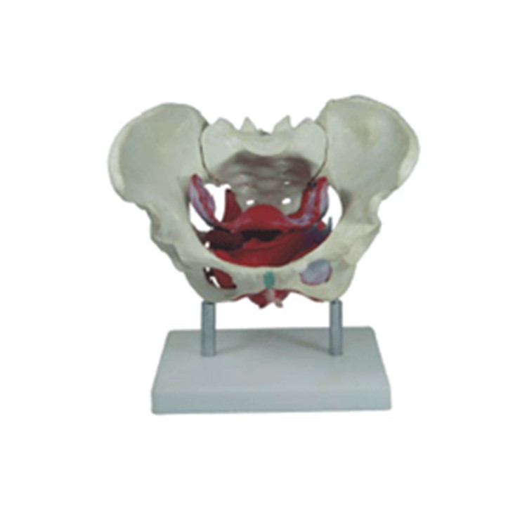 Human Anatomy Model of Female Pelvis Floor Muscles and Reproductive Organs