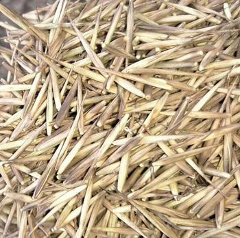 New high germination rate moso bamboo seeds