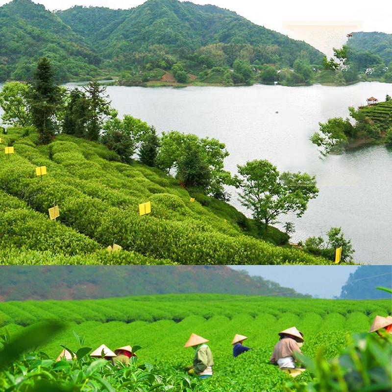 Taiping Hou Kui Green Tea/ peaceful monkey leader tea - 4uTea | 4uTea.com