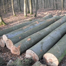 OAK LOGS, POPLAR LOGS, BULK QUANTITIES