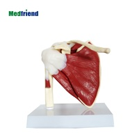 Factory Price Muscled Shoulder Bone Joint Anatomical Model