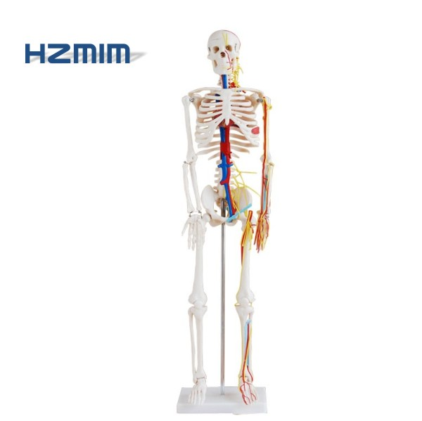 85cm human skeleton <strong>model</strong> with heart with colored blood vessels