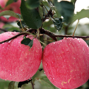 hot selling grade a qinguan exporter from china royal rose fresh apple