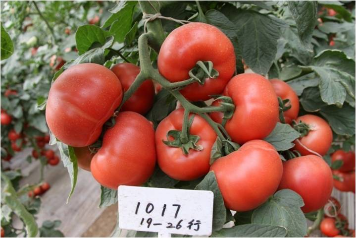 class top quality high yield chinese vegetable seeds hybrid f1 big pink tomato seeds for