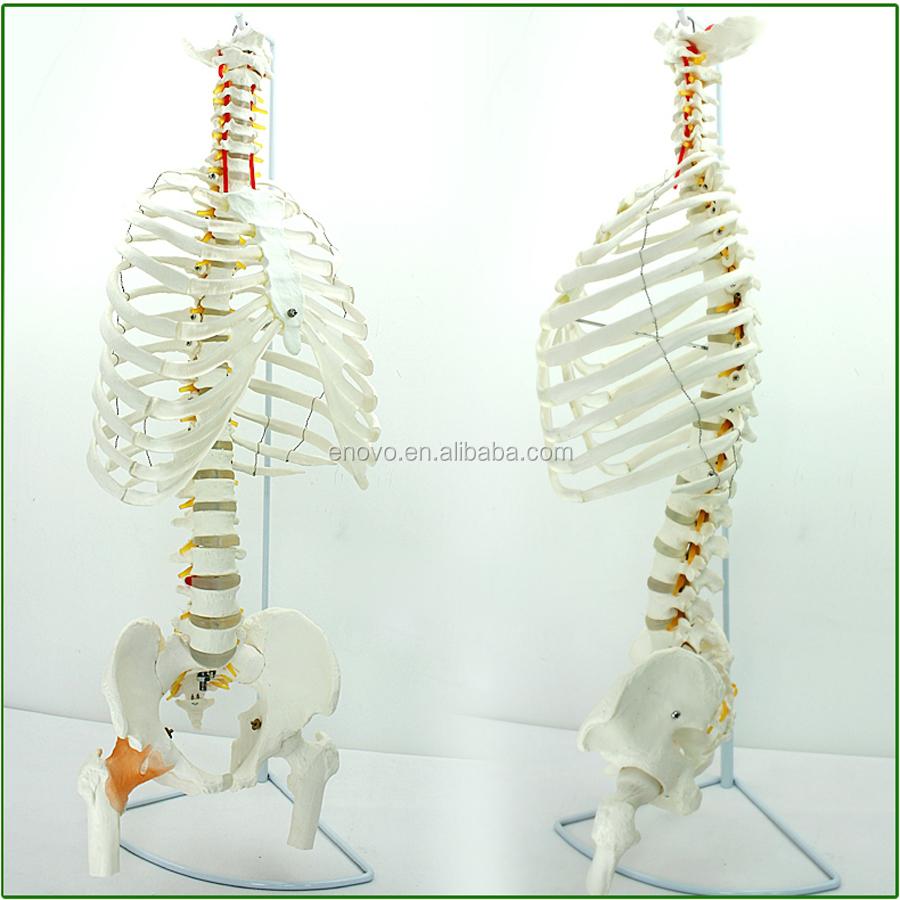 Al por mayor SPINE anatomía grado médico 12380 de tamaño fémur ...
