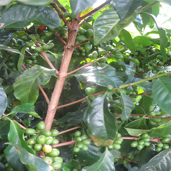 Raw Arabica And Robusta Green Coffee Beans Export