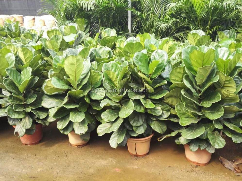 Ficus pandurata hance piante boscose id prodotto for Bouganville in vaso prezzo