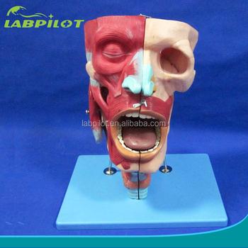 Nasen,Oral,Rachen Und Kehlkopf Hohlraum Modell,Menschlichen Atemwege ...