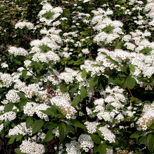 Spiraea Seeds Standard Grade High Quality Wholesale Spot Supply Meadow Sweets Seeds