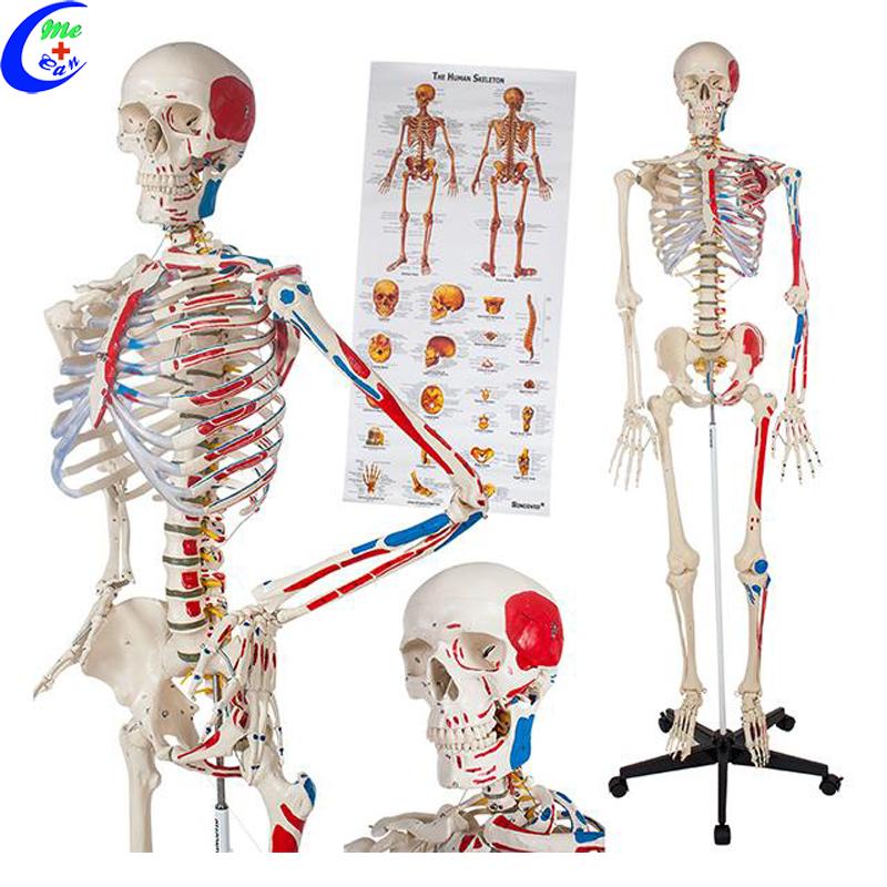 Medical Human Anatomical Skeleton Model Buy Anatomical Model