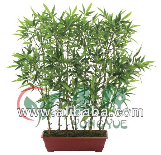 Mini Bamboo Plant : Koop laag geprijsde dutch set partijen groothandel