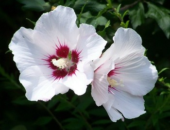 Rose Mallow Hamabo Hibiscus Syriacus 25 Seeds Buy Flowers