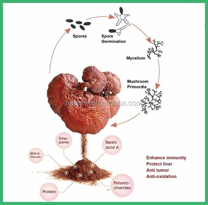 BEST selling reishi spore powder for Anti-tumor and anti-radiation