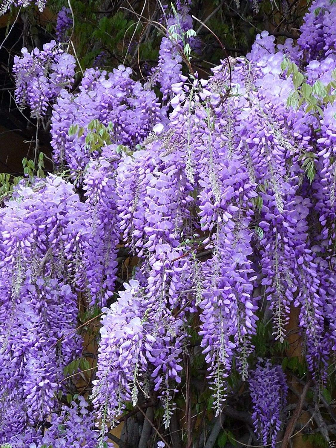 Get Quotations Blue Chinese Wisteria Seeds Sinensis Perennial Climbing Vine 25 Seed