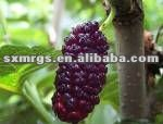 100% U V Natural mulberry extract Powder