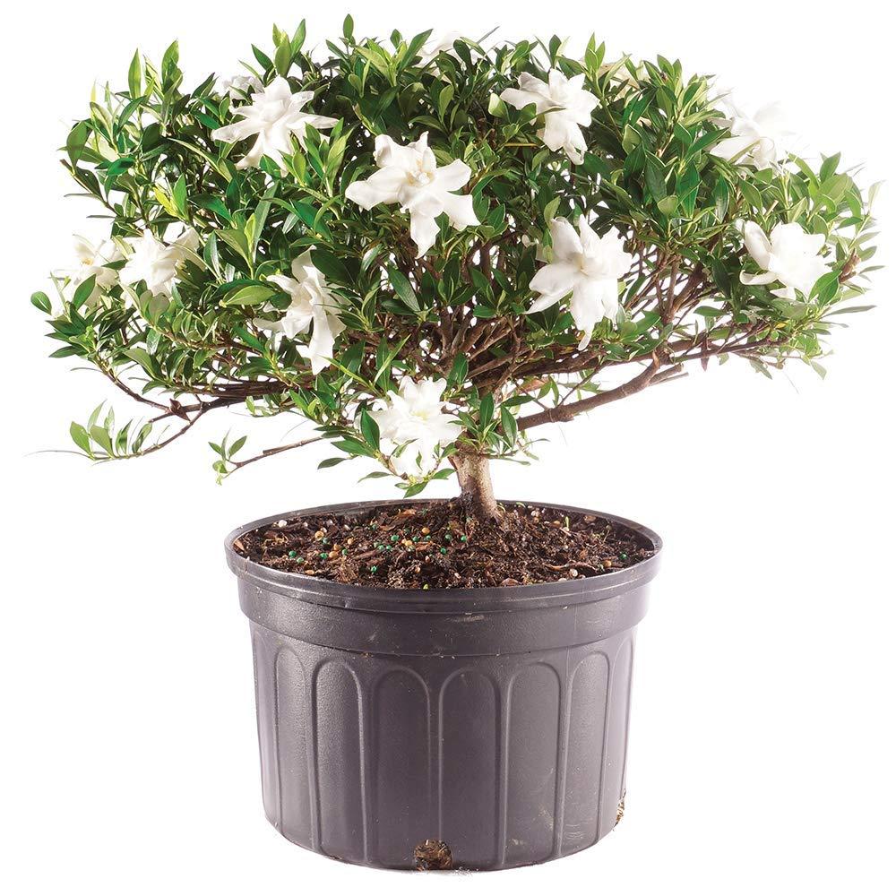 Cheap Gardenia Bonsai Find Gardenia Bonsai Deals On Line At Alibaba Com