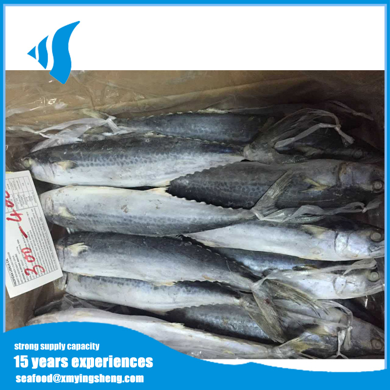 Frozen Japanese seerfish fish for canned food ingredients