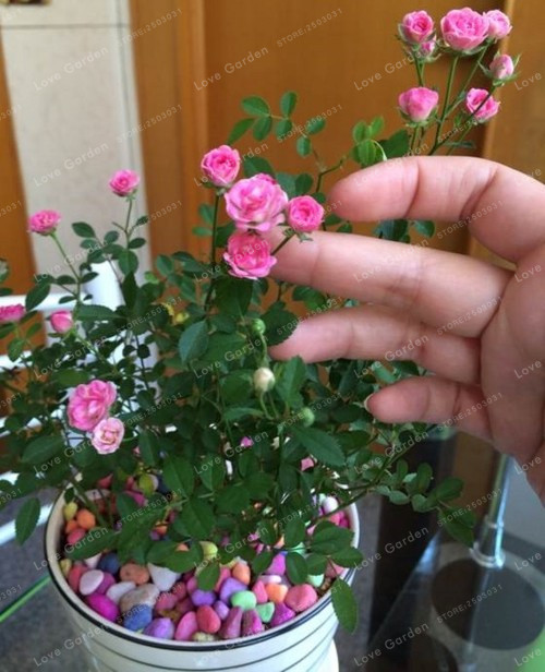 100 Pcs/Bag Mini Rose Bonsai Miniature Rose Seeds DIY Home Garden Bright And Beautiful Potted Flowers Seeds Balcony Bonsai Plant