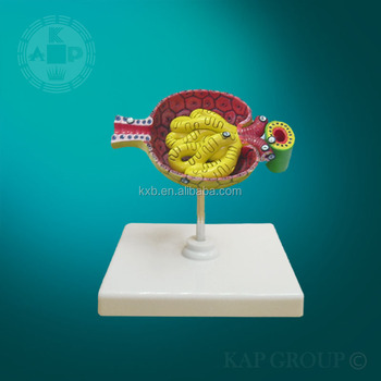 Malefemale Bladder Model Human Anatomy Physiology Bladder Pvc Human