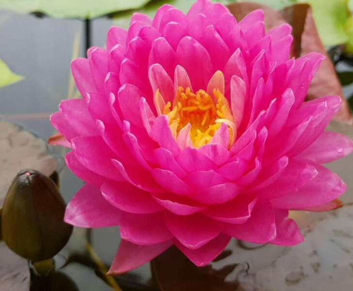 High Sprouting Rate Black Lotus Seed Water Lily Seeds For Growing