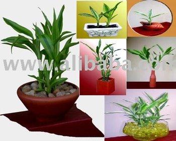 Lucky Bamboo Arrangements - Buy Lucky Bamboo Product on Alibaba com