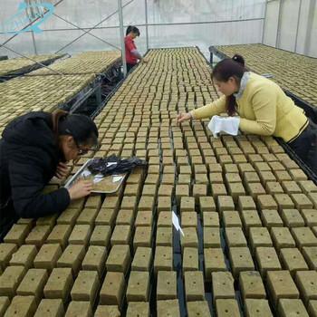 Media Tumbuh Rumah Kaca Hidroponik Bibit Jamur Batu Wol Cubes Buy Sistem Hidroponik Tumbuh Rock Wol Cubes 1 5 Inch 2 Inch Hidroponik Batu Wol 60
